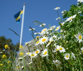 Prästkragar och grönska. Sveriges flagga hissad i bakgrunden.