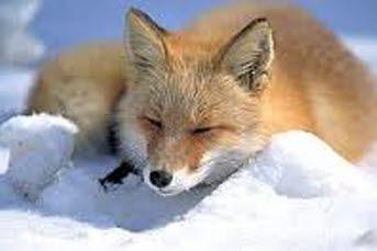 Bilden föreställer en räv som ligger i snön