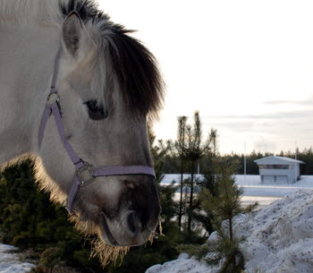 Bilden föreställer en häst vid Timrå Ridstadion.