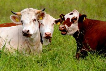 Bilden föreställer tre kossor som ligger i gräset