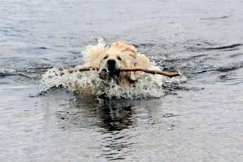 Bilden föreställer en hund som simmar med en pinne i munnen