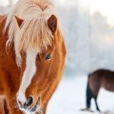 Bilden föreställer hästar i vinterlandskap.