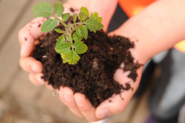 Bilden föreställer en planta med jord som hålls i handen