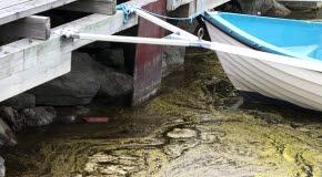 Bilden föreställer blågrön algblommning i en båthamn.