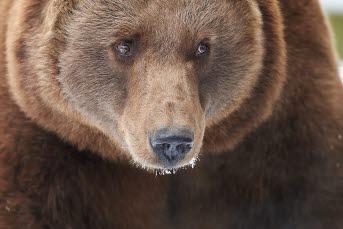 Bilden föreställer en björn